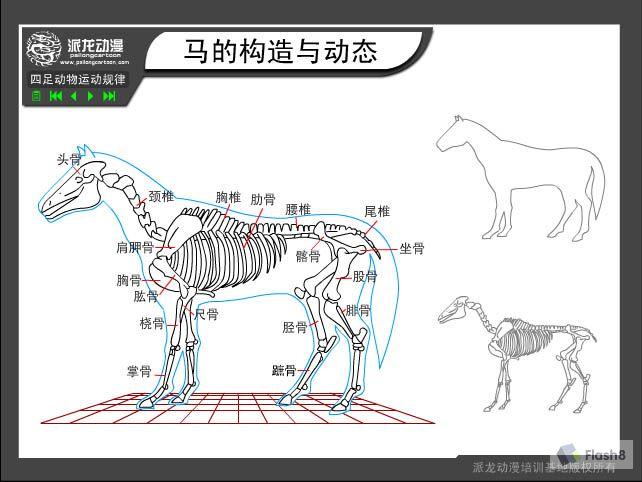 四足动物运动规律:马的构造与动态
